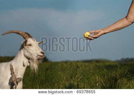 Hand And Goat