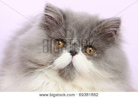 Young bicolor persian cat