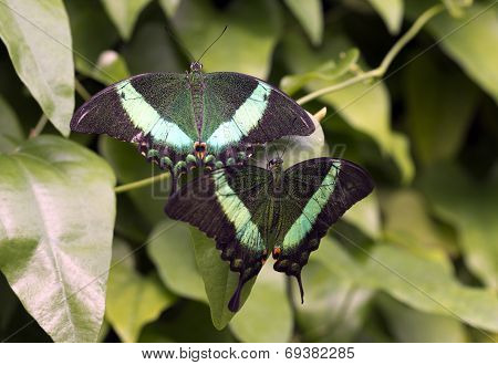 Emerald Swallowtail; Emerald Peacock; Or Green-banded Peacock