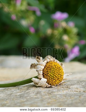 Flower Seedhead on Stone