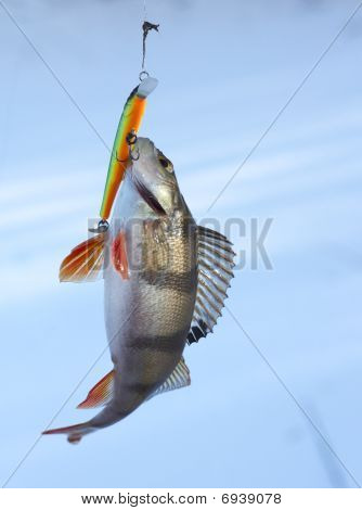 Perch Caught On Plastic Twitchbait