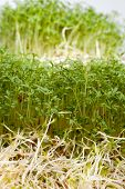 image of soybean sprouts  - Fresh alfalfa sprouts and cress on white background
