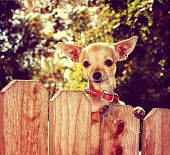 foto of applehead  - a cute chihuahua looking over a fence toned with a retro vintage instagram filter - JPG