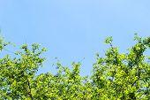 stock photo of dogwood  - Fresh leaves of dogwood  - JPG