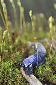 stock photo of slug  - Carpathian blue slug  - JPG