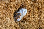 stock photo of nocturnal animal  - Barn owl hiding in a hay bale with blue sky reflected in its eyes - JPG