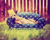 picture of pooch  - a cute chihuahua with a crown on napping on a couch toned with a retro vintage instagram filter - JPG