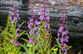 image of fallen  - Fireweed Chamerion angustifolium growing near the fallen burnt tree - JPG