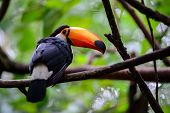 image of rainforest animal  - Bird or Toucan - JPG