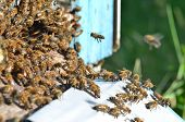 image of swarm  - A swarm  of bees at the entrance of beehive in apiary in the summertime - JPG