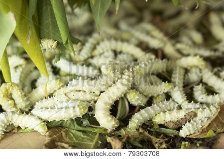 Silkworms With In The Nature