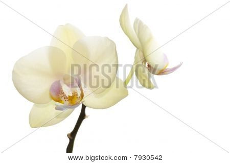 Beautiful light yellow orchids, rare color