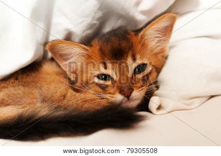 Cute Somali Kitten