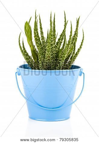 Aloe Humilis Is A Species Of The Genus Aloe