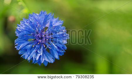 Knapweed Flower With Water Drops