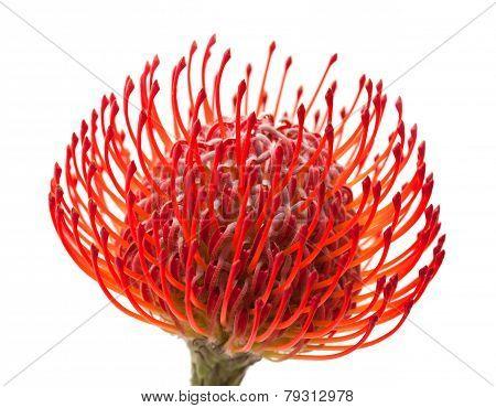 Red Protea