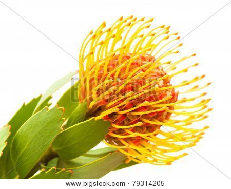 Orange Protea Flower