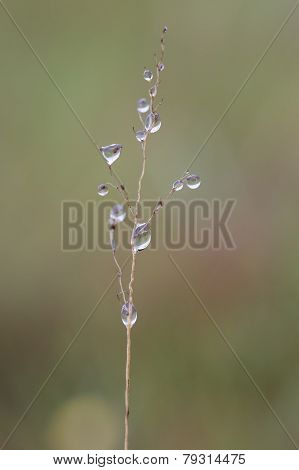 Small Wet Grass Seed Macro In Early Morning Fog