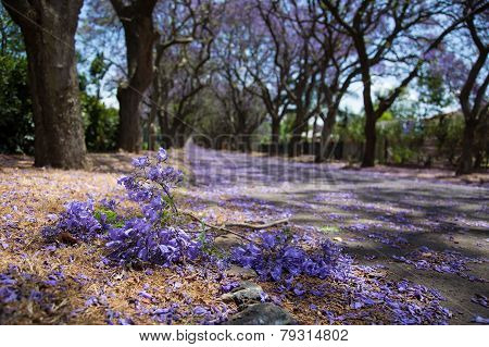 Suburban Road With Line Of Jacaranda Trees And Small Branch With Flowers