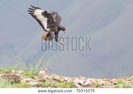 Jackal Buzzard Landing On Rocky Mountain In Strong Wind