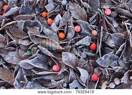 Frosty Hawthorn Leaves and Berries or Haws on the ground.