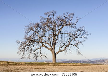 Leafless White Oak Tree with endless mountaintop view.