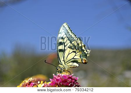 Paper Kite butterfly Latin name Idea leuconoe