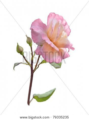 Digital Painting Of Pink Rose Branch Isolated On White Background