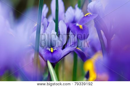 beautiful purple iris with blurred background