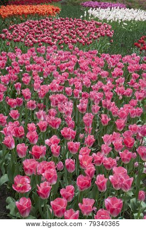 Colorful tulips photo.