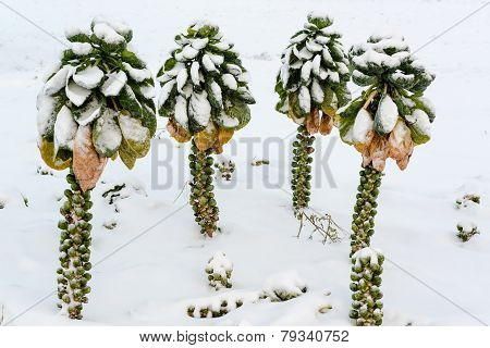 Brussels sprouts in snow