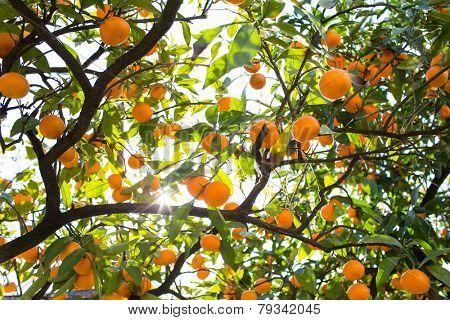 Tangerines Tree With Sun Beam