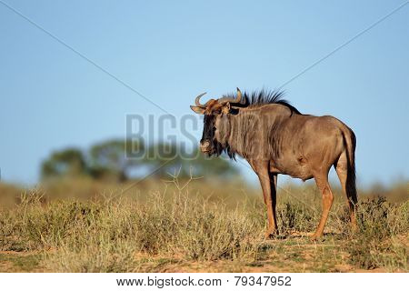 A blue wildebeest (Connochaetes taurinus) in natural environment, Kalahari desert, South Africa