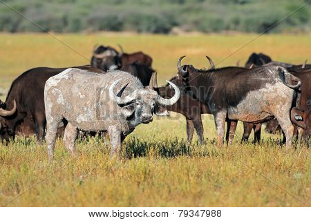 Mud covered African or Cape buffaloes (Syncerus caffer), South Africa