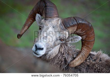 Bighorn Portrait