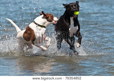 Dogs Competing For The Ball In The Water