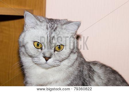 Big Gray Cat