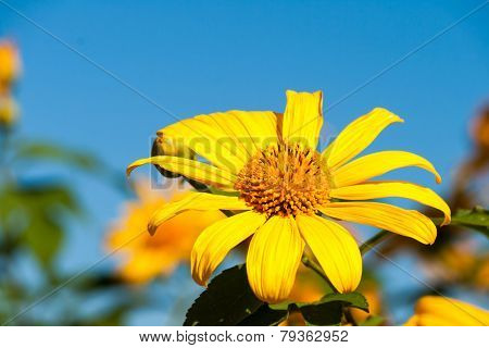 Tree marigold with bee Mexican tournesol Mexican sunflower with blue sky background.