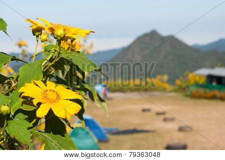 Tree Marigold With Bee, Mexican Tournesol, Mexican Sunflower With Blur Background..