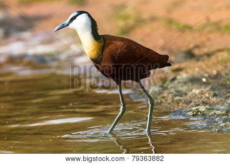 Bird Jacana Water