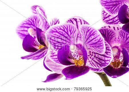 Orchid Purple