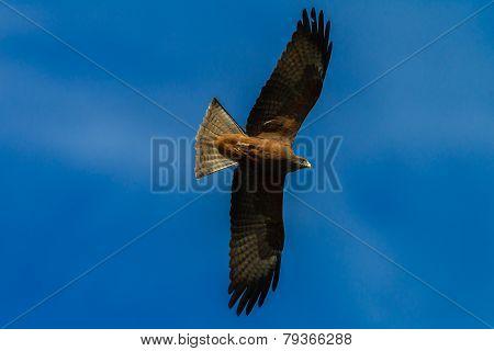 Eagle Bird Kite
