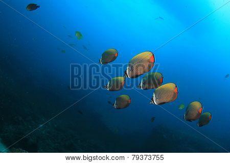 Butterflyfish on coral reef underwater
