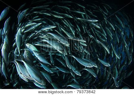 School of shoal of Mackerel fish underwater in sea