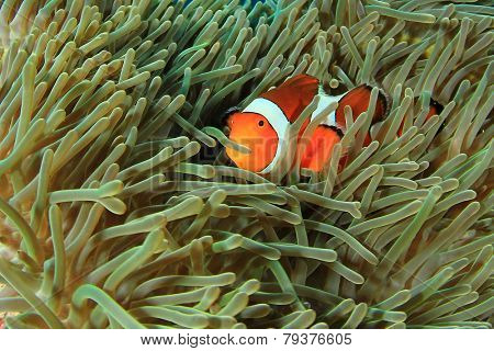 Anemonefish (Clownfish) in anemone