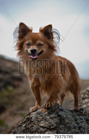 Rufous Chihuahua Sitting On The Rocks