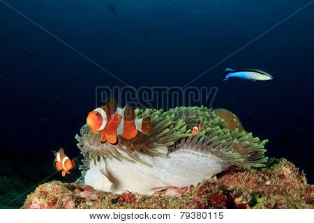 Clown Anemonefish (Nemo) and anemone