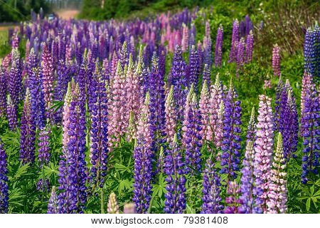 Lupins growing wild in rural Prince Edward Island, Canada.