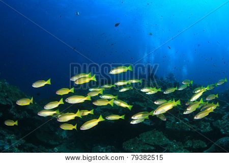 Snappers fish school