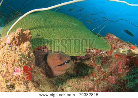 Moray Eel and coral reef